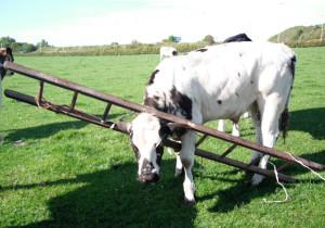 cow-ladder_1974670i