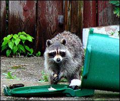 raccoon_trash